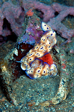 Chromodorid nudibranch (Risbecia tryoni) laying a red egg ribbon, Lembeh Strait, North Sulawesi, Indonesia.