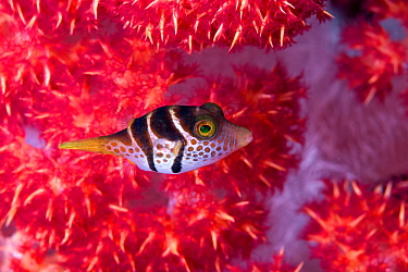 Black saddled toby (Canthigaster valentini) hiding among the branches of a Red Soft Coral Tree (Dendronephthya sp.) Lembeh Strait, North Sulawesi, Indonesia.