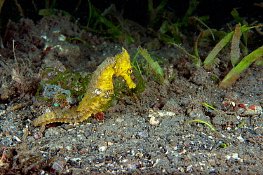 Estuary seahorse (Hippocampus kuda) adult female, Lembeh Strait, North Sulawesi, Indonesia.