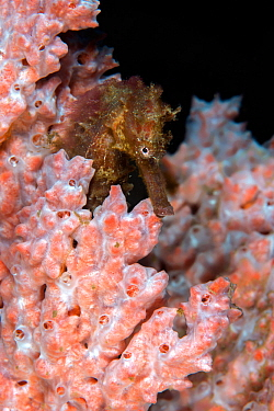 Estuary seahorse (Hippocampus kuda) in orange sponge. Lembeh Strait, North Sulawesi, Indonesia.