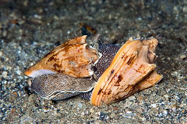Bat volute predatory sea snails (Cymbiola vespertilio) mating, Lembeh Strait, North Sulawesi, Indonesia.