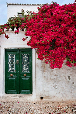 Bougainvillea flowers growing on the wall of a house, Spetses Island, Aegean Sea, Greece. April 2013.