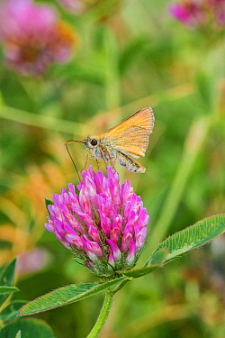Small skipper butterfly (Thymelicus sylvestris) feeding on red clover Lewisham, South East London, England, UK, July.