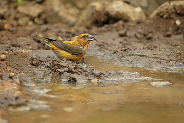 Common crossbill (Loxia curvirostra) by puddle Norfolk, Great Britain, UK, April.