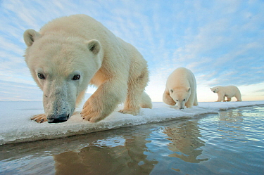 Polar bear (Ursus maritimus) mother with two juveniles walking along ice edge during autumn freeze up, Beaufort Sea, off Arctic coast, Alaska