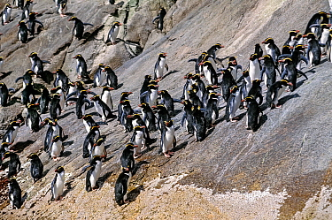 Snares-crested penguin ( Eudyptes robustus) group climbing steep route to colony. Snares Island, New Zealand Subantarctic Islands. Endemic. Vulnerable species.