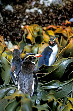 Snares-crested penguins ( Eudyptes robustus) on shore, among kelp Snares Island, New Zealand Subantarctic Islands. Endemic. Vulnerable species.
