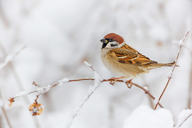 Eurasian Tree Sparrow (Passer montanus) perched on branch in snow. Southern Norway. January.