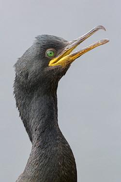 European / Common shag (Phalacrocorax aristotelis) portrait with open beak, close-up. Vardo, Norway. July.