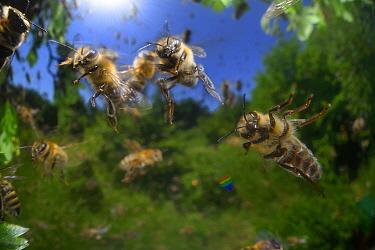 Honey bee (Apis mellifera) swarming. Kiel, Germany, June.