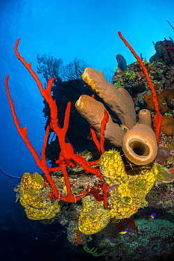 Colourful coral reef wall, with Yellow branching tube sponges (Pseudoceratina crassa), brown tube sponges (Agelas conifera) and red rope sponges (Amphimedon compressa), in front of deepwater sea fans...