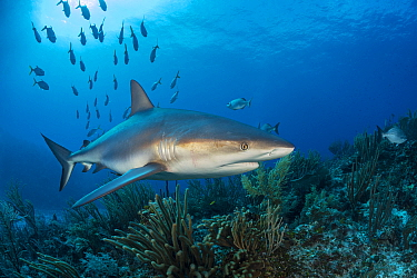Caribbean reef shark (Carcharhinus perezi) female swimming over a coral reef, while a school of Horse-eye jack swims away (Caranx latus) East End, Grand Cayman, Cayman Islands. British West Indies. Ca...