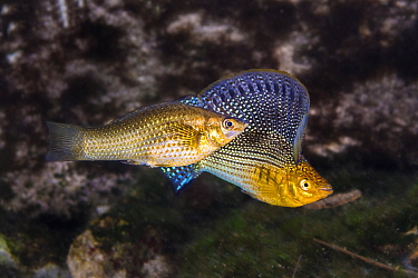 Sailfin molly (Poecilia velifera) displaying his large flag-like dorsal fin while courting a female, in a freshwater cenote (or limestone sinkhole). Garden Of Eden Cenote, Puerto Aventuras, Quintana R...