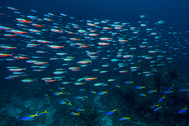 Blue and yellow fusilier (Caesio teres) and Neon fusilier (Pterocaesio tile) over a coral reef. Sardine Reef, Raja Ampat, West Papua, Indonesia. Dampier Strait, tropical West Pacific Ocean.