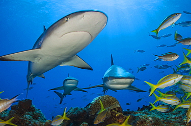Caribbean reef sharks (Carcharhinus perezi) swimming through the middle of a school of yellowtail snappers (Ocyurus chrysurus). Grand Bahama, Bahamas. Tropical West Atlantic Ocean.