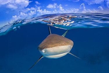 A Caribbean reef shark (Carcharhinus perezi) just below the surface. Split level with blue sky and clouds. Long Island, Bahamas. Bahamas Sea, Tropical West Atlantic Ocean.