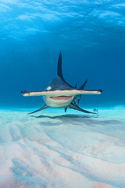 Great hammerhead shark (Sphyrna mokarran) in shallow water. South Bimini, Bahamas. The Bahamas National Shark Sanctuary. Gulf Stream, West Atlantic Ocean.