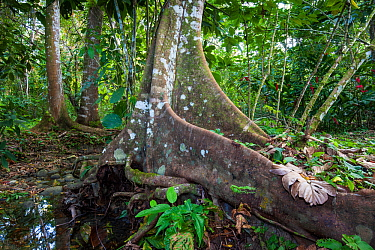 Buttress roots of rainforest tree, Palenque National Park. Pre-Hispanic City and National Park of Palenque UNESCO World Heritage Site, Chiapas, Mexico.