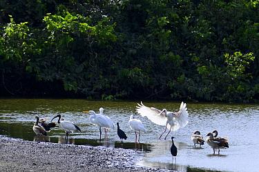 African Spoonbill (Platalea alba)  Great egret (Ardea alba), gyptian geese (Alopochen aegyptiacus),Black herons (Egretta ardesiaca) and Sacred ibis (Threskiornis aethiopicus), Orango National Park,  B...