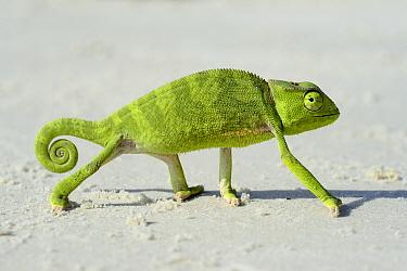 Flap necked chameleon (Chamaeleo dilepis) walking on sand, Orango Islands National Park, Bijagos UNESCO Biosphere Reserve, Guinea Bissau.