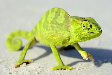 Flap necked chameleon (Chamaeleo dilepis) portrait, Orango Islands National Park, Bijagos UNESCO Biosphere Reserve, Guinea Bissau.