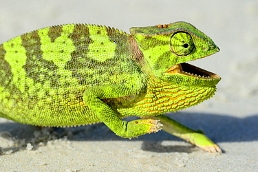 Flap necked chameleon (Chamaeleo dilepis) with mouth open, Orango Islands National Park, Bijagos UNESCO Biosphere Reserve, Guinea Bissau.