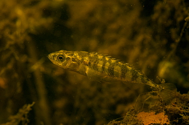 Ten-spined stickleback (Pungitius pungitius) in pond, the Netherlands, July.
