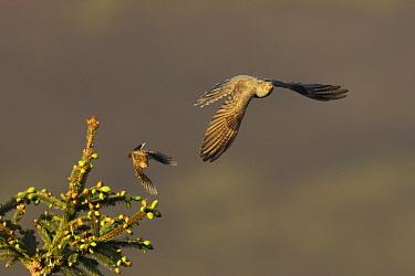 Tree pipit (Anthus trivialis) mobbing Cuckoo (Cuculus canorus), UK. May.