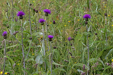 Melancholy thistle (Cirsium helenioides) in wildflower meadow, Askrigg Bottoms, near Askrigg, Yorkshire Dales National Park Yorkshire, England, UK, July.
