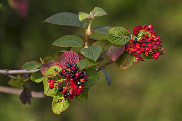 Wayfaring tree (Viburnum lantana) with berries, Broughton Down Wildlife Trust Reserve, near Broughton Hampshire, England, UK, August.