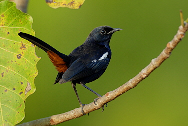Indian robin (Copsychus fulicatus) Sinhudurg, Maharashtra, India.