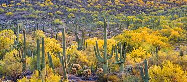 Saguaro cacti (Carnegiea gigantea) in bloom  with Foothill paloverde (Cercidium microphyllum) Sonoran Desert National Monument, Arizona, USA, April.