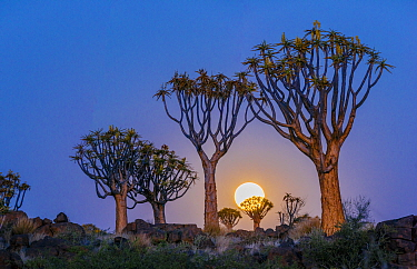 Quiver trees (Aloe dichotoma) with full moon rising, Namib Desert. Namibia.