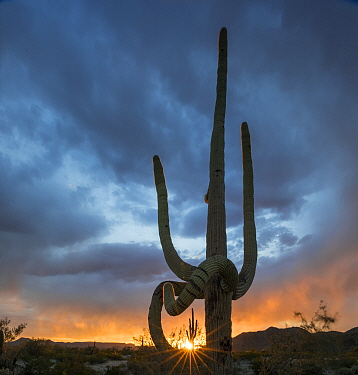 Saguaro cactus (Carnegiea gigantea) at sunset, with drooping frost damaged limbs, South Maricopa Mountains Wilderness, Sonoran Desert National Monument, Arizona, USA, March.
