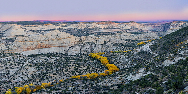 Cottonwood (Populus fremontii) trees in autumn at sunset, forming a sinuous line of yellow trees. Deer Creek Canyon, Grand Staircase-Escalante National Monument, Utah, USA, October.