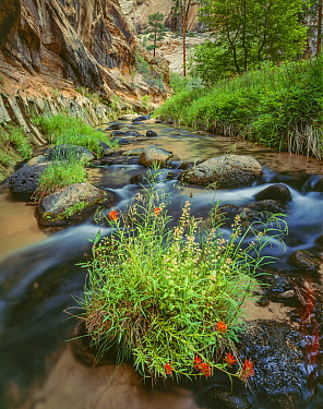 Indian paintbrush (Castilleja sp.) flowers amid  boulders in a stream,  in narrow canyon with conifers in background Grand Staircase-Escalante National Monument, Utah, USA.