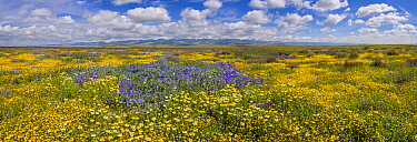 Massive wildflower display. Lanceleaf monolopia (Monolopia lanceolata) Great valley phacelia (Phacelia civiliata), Tidy-tips, (Layia platyglossa)  The Temblor Range, also carpeted in flowers,  in even...