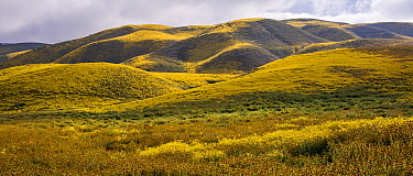 Massive wildflower display with Lanceleaf monolopia (Monolopia lanceolata), and Orange fiddle neck (Amsinckia intermedia) The Temblor Range, also carpeted in flowers,  in evening light in the backgrou...