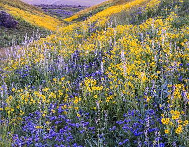 Massive wildflower display Lanceleaf monolopia (Monolopia lanceolata) Great Valley phacelia (Phacelia civiliata) and purple Lemmon's mustard (Caulanthus anceps) The Temblor Range  in evening light in...