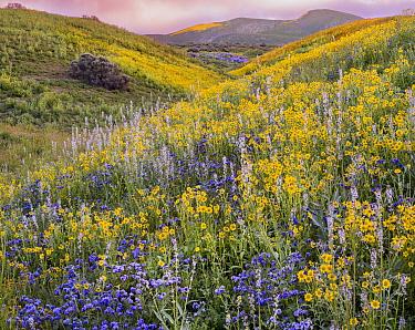 Massive wildflower display Lanceleaf monolopia (Monolopia lanceolata) Great Valley phacelia (Phacelia civiliata) and purple Lemmon's mustard, (Caulanthus anceps) The Temblor Range  in evening light in...
