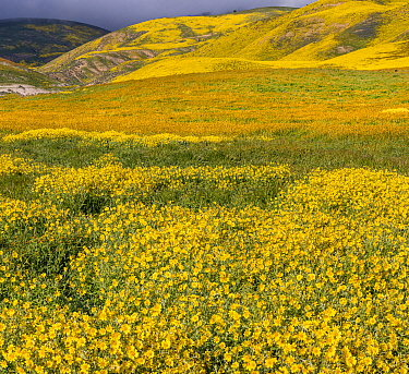 Massive wildflower display with Lanceleaf monolopia (Monolopia lanceolata) and Tidy-tips, (Layia platyglossa)  The Temblor Range also carpeted with flower in the background in evening light. Carrizo P...