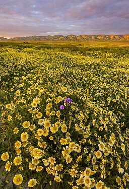 Massive wildflower display with Tidy-tips (Layia platyglossa)  Great Valley phacelia (Phacelia ciliata).  The Temblor Range also carpeted with flower in the background in evening light. Carrizo Plain...