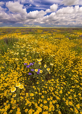 Massive wildflower display with Lanceleaf monolopia (Monolopia lanceolata) Great Valley phacelia (Phacelia civiliata) and Tidy-tips (Layia platyglossa). The Temblor Range also carpeted with flower in...