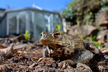 Common toad (Bufo bufo) in a garden flowerbed next to a conservatory, Wiltshire, UK, March. Property released.