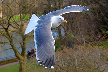 Lesser black-backed gull (Larus fuscus) in flight over Parade Gardens Park by the River Avon, Bath, UK, March.