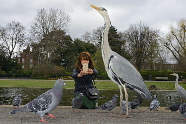 Asian woman photographing a Grey heron (Ardea cinerea) with a smart phone in Regent's Park as Feral pigeons (Columbia livia) forage around them, London, UK, March. Model released.