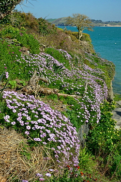 Mass of flowering African daisies (Osteospermum sp.) covering a garden wall beside the Camel Estuary, near Padstow, Cornwall, UK, April.