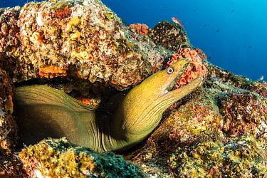 Green moray (Gymnothorax castaneus), Sea of Cortez, Baja California, Mexico, East Pacific Ocean