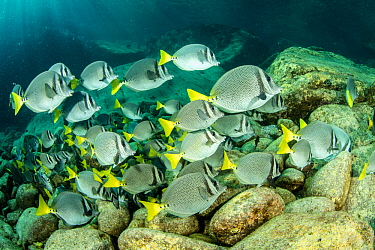 Shoal of Yellowtail surgeonfish (Prionurus punctatus) Sea of Cortez, Baja California, Mexico, East Pacific Ocean