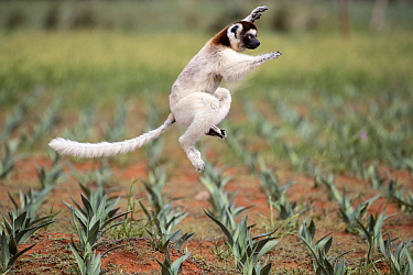 Verreaux's sifaka (Propithecus verreauxi) jumping across a sisal plantation, Berenty Private Reserve, southern Madagascar, August 2016.